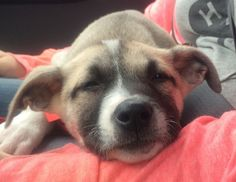 A sleepy german shepherd pitbull mix - find out more about these designer dogs: http://www.infobarrel.com/German_Shepherd_Pitbull_Mix