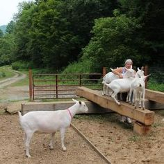 Marilyn Grossman has the kind of career that doesn't come with a blueprint: Along with her husband, Brad, she raises Saanen dairy goats, in part for their protein-rich milk, but Keeping Goats, Raising Goats, Katahdin Sheep, Goat Playground, Goat Toys, Goat Shed, Sheep Pig, Mini Donkey, Goat Barn