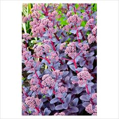 Sedum 'Purple Emperor' - good strong coloured foliage plant which contributes almost all year round