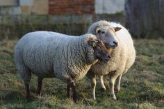 Sheep can provide you with a host of farm products: wool, milk, meat and cheese. Make sure you can provide for them, as well.