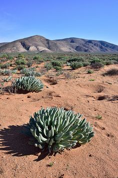 Vegetation and mountains, Richtersveld Transfrontier Park, Northern Cape, South Africa   by South African Tourism