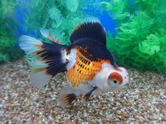 Ryukin Goldfish, Comet Goldfish, Goldfish Tank, Lionhead Goldfish, Weird Fish, Cool Fish, Colorful Fish, Tropical Fish, Koi