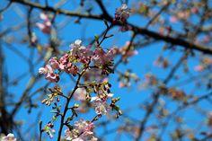 #Spring, #cherry blossoms, #blue sky, #pink, #bud
