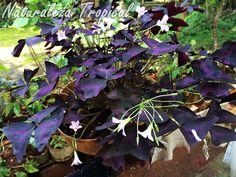 Falso Trébol o Flor de Oca florecida, género Oxalis