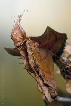 Idolomantis diabolica female nymph 1