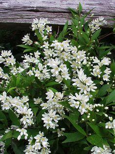 Deutzia Nikko-Great plant (shrub) with white blossoms, low maintenace and easy to grow. Full Sun Flowers, Amazing Flowers, White Flowers, Garden Shrubs, Landscaping Plants, Garden Plants, Farmhouse Landscaping, Landscaping Ideas, Nikko