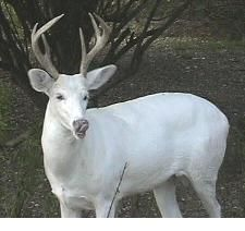 Albino Animals - Mammals (part - Cliff Lamere Pink Eyes, Animals Images, Animal Pictures, Albino Moose, Rare Albino Animals, Male Deer, Melanism, Animal Totems, Animal Photography