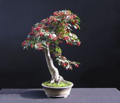 "Read Bonsai Basics"" by Harry Harrington available from Rakuten Kobo. The Art and Practise of Bonsai conjures an aura of mystery and wonder that draws many first-time enthusiasts to it. Cotoneaster Bonsai, Stone Lantern, Indoor Bonsai, Miniature Trees, Bonsai Garden, Bonsai Soil, Trees To Plant, Bonsai Trees, Along The Way"