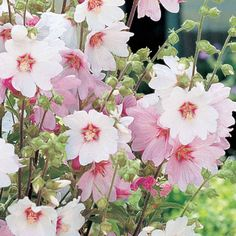Lavatera - Barnsley Baby - lovely soft pink