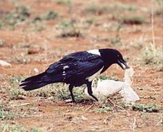Pied Crow, Kenya