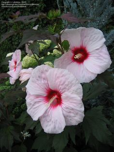 PlantFiles Pictures: Hardy Hibiscus, Rose Mallow, Swamp Mallow 'Kopper King' (Hibiscus moscheutos) by jody Flower Gardening, Planting Flowers, Famous Daves, Hardy Perennials, Summer Colors, Hibiscus, Flower Art, Beautiful Flowers, Yard