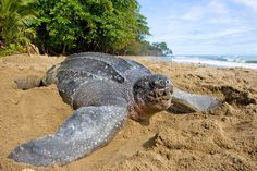 Turtle Beach, Tobago - Very, very nice beach, but we did not see this letherback turtle.....