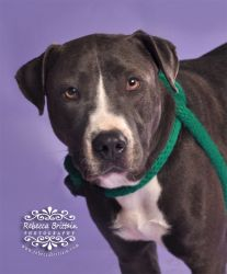 Bounce is an adoptable Pit Bull Terrier Dog in Clearwater, FL. Everyone needs some Bounce in their life! Come see this gorgeous blue baby. She is as sweet as she looks, great on the leash, gets along ...