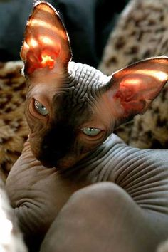 sphynxes are energetic and gregarious. Owners often describe them as intelligent, inquisitive and affectionate. They like to entertain with silly antics and enjoy human attention. Possibly because they need warmth a little more than other cats, they like to cuddle up to a warm person or under the bed covers. ......... in Canada, they will need a sweater to keep warm.