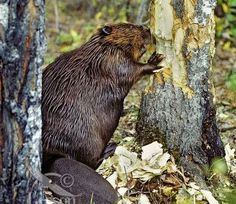 PetsLady's Pick: Busy Beaver Of The Day ... see more at PetsLady.com ... The FUN site for Animal Lovers