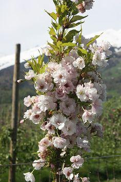 Zierkirsche Prunus serrulataAmanogawa günstig online kaufen - Mein Schöner Garten Shop Prunus, Nice Asses, Peach