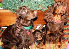 Field Spaniel, Spaniel Puppies, Dog Boarding, Spaniels, Gallery, Pictures, Dogs, Animals, Photos