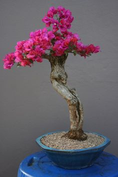ღღ I want one like this for my living room. Love Bougainvillea.They always remind me about the Mediterranean ~~~ Bougainvillea - Informal