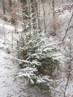 Spruce in a snowy forest Snowy Forest, Photo Editing, Stock Photos, Fine Art, Pictures, Photography, Outdoor, Image, Editing Photos