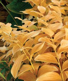 Bright to buttery yellows—as with amsonia (Amsonia spp. and cvs., Zones SOLOMON'S SEAL (Polygon­atum odoratum and cvs. Fall Plants, Garden Plants, Solomons Seal, Fine Gardening, Container Gardening, Hosta Gardens, Garden Solutions, Gardening Magazines, Purple Tulips