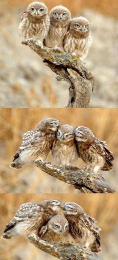"""The third picture...middle owl is like """"that's enough"""""""