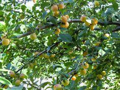 Tinou a du goût: Clafoutis aux prunes des Cévennes