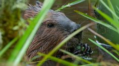 Learn how beavers are being recruited to reverse the effects of global warming and water shortages. - PBS - Leave it to Beavers
