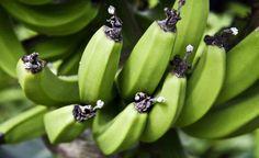 Rica em carboidratos e vitaminas, a banana verde está se tornando a queridinha das dietas e da alimentação saudável. Entre os…