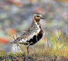 Golden Plover, Shorebirds, Watercolor Bird, Decoration, Sketching, Models, Unique, Birds, Decor