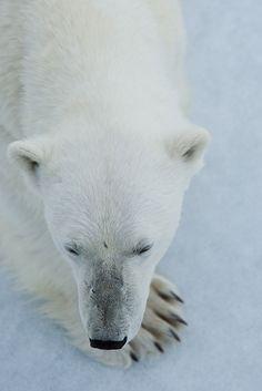 Polar bear, Spitzbergen     I love Polar bears would like to photograph them.Please check out my website Thanks  www.photopix.co.nz