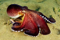 The coconut octopus is found on sandy bottoms in bays or lagoons. It frequently buries itself in the sand with only its eyes uncovered.In March 2005, researchers at the University of California, Berkeley, published an article in Science in which A. marginatus was reported to have a bipedal behavior. It is one of only two octopus species known to display such behavior, the other species being Abdopus aculeatus.