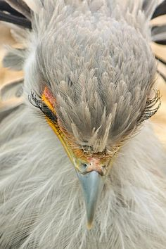 The Secretary Bird: A surprisingly gentle face for a creature that can kill a cobra. by Theo OConnor
