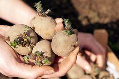 <p>Her kan du læse, hvordan du dyrker tidlige kartofler i syv enkle trin. Hvis du vil høste skønne nyopgravede kartofler af egen avl allerede i juni, skal kartoflerne forspires sidst i februar.</p>