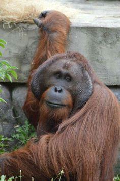 Orangutan at the Ohio Zoo
