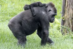 The Moka gorilla carries her baby back three months at the Zoo and Aquarium Pittsburgh, Pennsylvania. The great apes are endangered due to traffic from these animals, according to the UN. (AP)