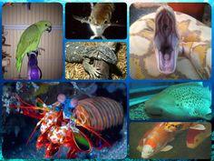 zebra shrimp Zebra Mantis Shrimp cool animals Pinterest Mantis ...