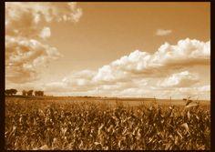 Pole kukurydzy | zoom | digart.pl