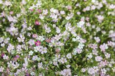 Gypsophile : planter et cultiver – ComprendreChoisir