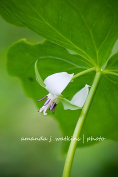 wildly simple: Northern MN Woodland Wildflowers - Nodding Trillium