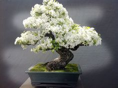 Bonsai is a Japanese art form using miniature trees grown in containers. Bonsai is plantings in tray or low-sided pot. Bonsai trees are awesome and most beautiful trees. Flowering Bonsai Tree, Bonsai Tree Types, Indoor Bonsai Tree, Bonsai Plants, Bonsai Garden, Bonsai Trees, Bonsai Apple Tree, Bonsai Flowers, Wisteria Tree