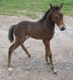 part arab colt at Four Oaks Arabians