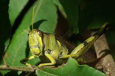 Obscure Bird Grasshopper (Schistocerca obscura). Insects, Bird, Nature, Animals, Animales, Animaux, Naturaleza, Animais, Birds