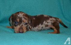Sasha Dachshund Mix Puppy For Sale in Pennsylvania