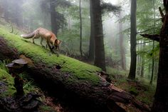 Amazing photo of a fox in a woodland