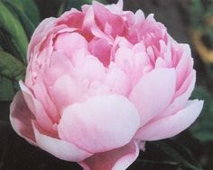 ~Walter Faxon - Late Midseason to Late Lactiflora, pink, full double, the striking flower color is the big appeal here, vivid shell pink with a luminous intensity seldom seen in peonies, fragrant, good cutflower, fairly floriferous, good stems and foliage,  (Richardson, 1904). www.peonyshop.com