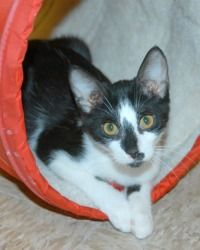 Muffin is an adoptable Domestic Short Hair-Black And White Cat in Houston, TX. Muffin - 'Muff' to her friends - is a sweet, playful kitten who gets along well with other kittens, adult cats, and dogs....