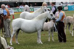 Crumpwell Blue Diamond, Welsh Mountain mare