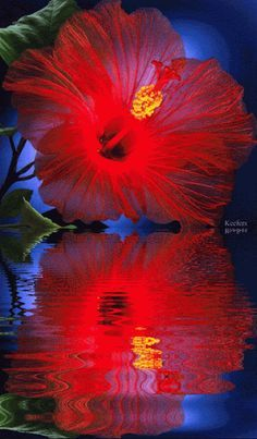 HIBISCUS, WATER REFLECTION GIF