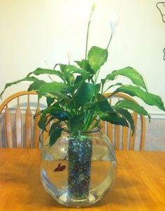 Peace lily plant/ betta fish :) My mom makes these all the time she leaves the roots free for Beta to eat ! Betta Food, Betta Fish Care, Indoor Water Garden, Indoor Plants, Water Gardens, Peace Lily Plant, Inside Plants, Paludarium, Ideias Diy