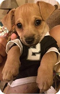 Dallas, TX - Chihuahua/Jack Russell Terrier Mix. Meet Reesie, a puppy for adoption. http://www.adoptapet.com/pet/11732880-dallas-texas-chihuahua-mix
